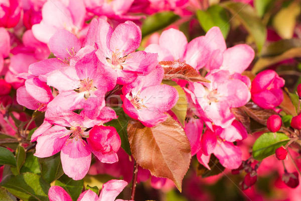 Flowering apple tree with pink blossoms Stock photo © manfredxy