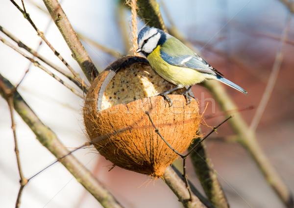 Stock photo: Blue tit bird eating at a bird feeder