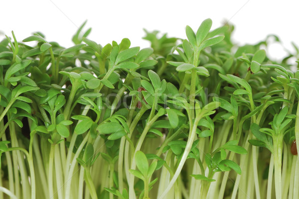 Isolated Garden Cress Sprouts Stock photo © manfredxy