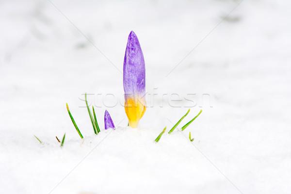 Roxo açafrão flor neve primavera Foto stock © manfredxy