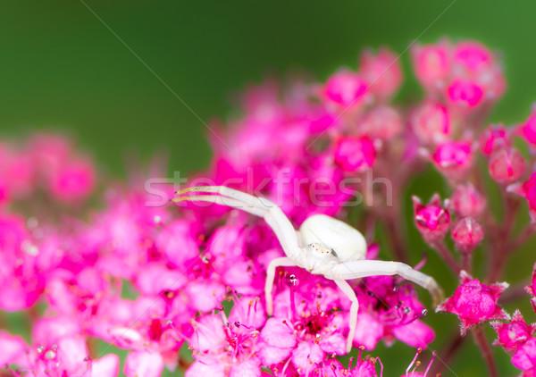 Fehér rák pók makró virág természet Stock fotó © manfredxy