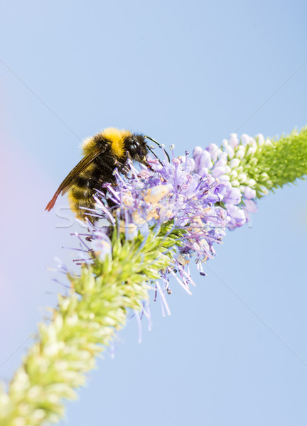 Bumblebee at a Veronica spicata flower Stock photo © manfredxy