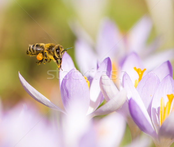 Stock photo: Flying honeybee pollinating a purple crocus flower