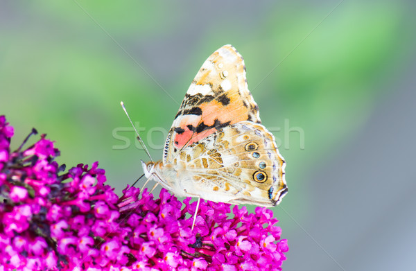 Painted laidy butterfly collecting nectar at a budleja blossom Stock photo © manfredxy