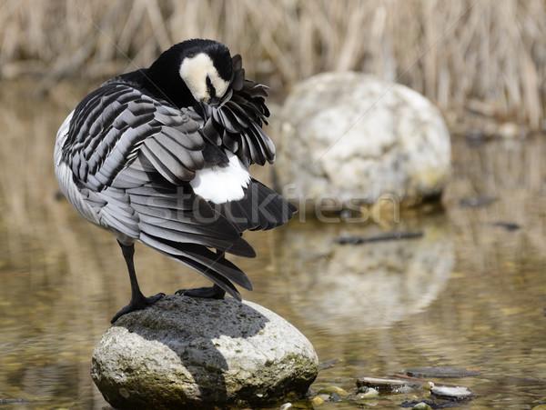 утки клюв природы Перу каменные Сток-фото © manfredxy
