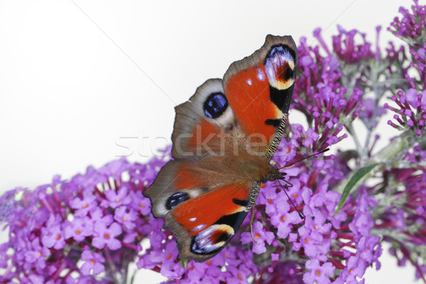 Peacock butterfly Stock photo © manfredxy