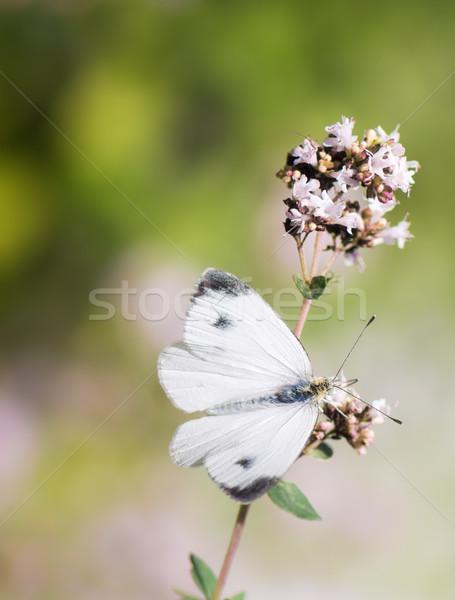 Fehér káposzta pillangó virág közelkép természet Stock fotó © manfredxy