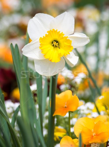スイセン 花 ベッド 花壇 春 工場 ストックフォト © manfredxy