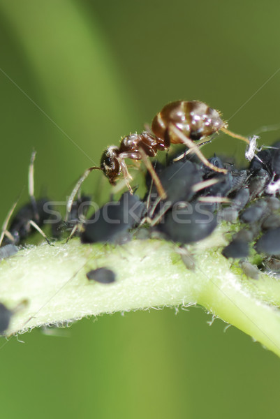 Ant and Lice Stock photo © manfredxy