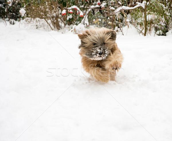 Tibetan Terrier Dog Running in Snow Stock photo © manfredxy