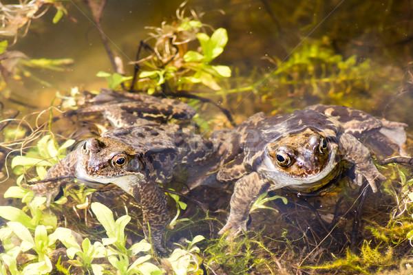 Karakurbağası çift su kurbağa hayvan gölet Stok fotoğraf © manfredxy