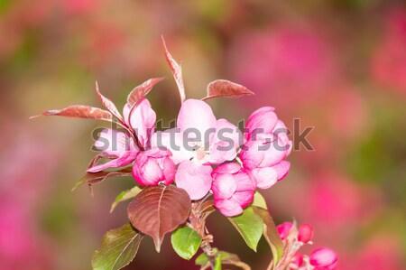 Różowy jabłko kwiaty kwiat makro Zdjęcia stock © manfredxy