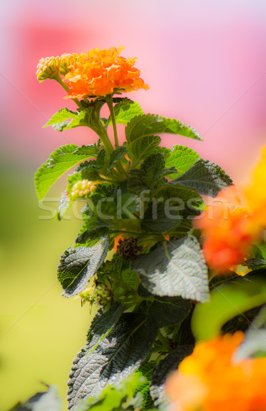 Orange Blooming Lantana camara flower Stock photo © manfredxy