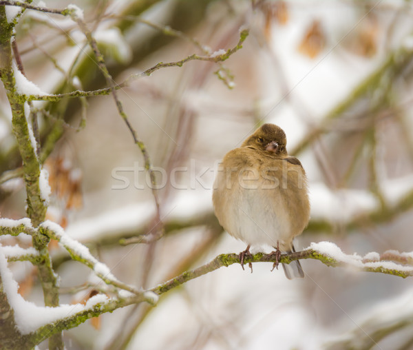 Finch bird sitting on a snow covered tree Stock photo © manfredxy