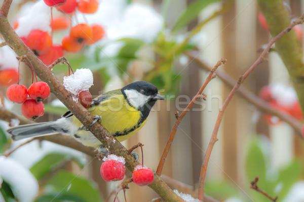 Teta pássaro sessão neve coberto Foto stock © manfredxy