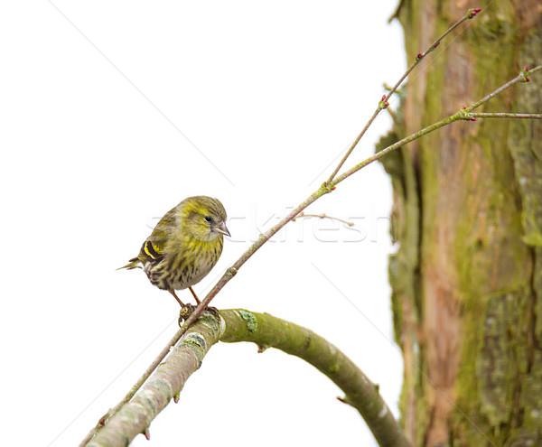 Feminino sessão ramo árvore pássaro Foto stock © manfredxy
