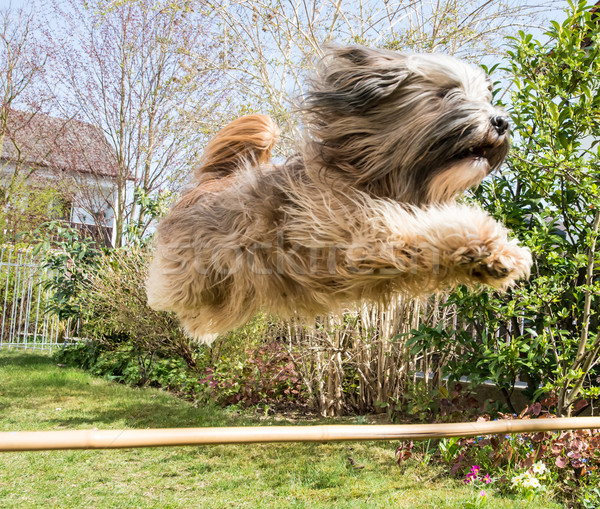 Flying Tibetan Terrier Dog Stock photo © manfredxy