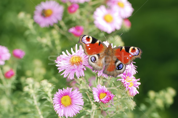 Asters with buttefly Stock photo © manfredxy