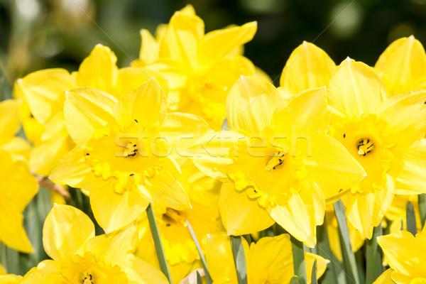 желтый нарциссов весны живописный Daffodil цветы Сток-фото © manfredxy