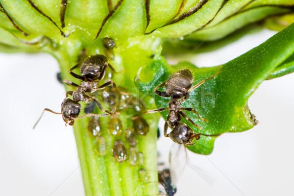 Fourmis  tige fleur animaux bug macro Photo stock © manfredxy