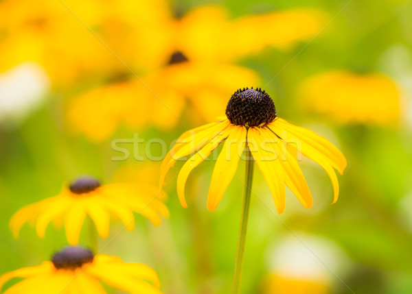 Virágágy citromsárga virágok szelektív fókusz kert nyár Stock fotó © manfredxy