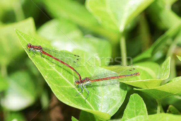 Mating damselflies Stock photo © manfredxy