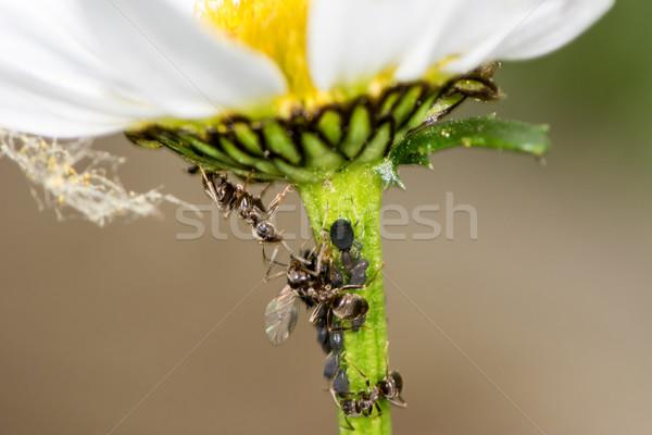 Virág hangyák szár állat rovar rovar Stock fotó © manfredxy