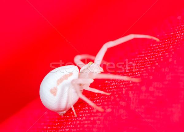 белый краба Spider макроса красный Сток-фото © manfredxy