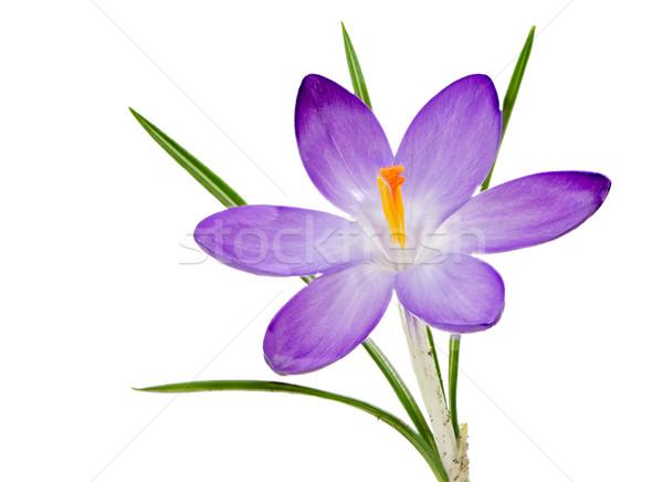 Isolato viola crocus fiore fiore macro Foto d'archivio © manfredxy