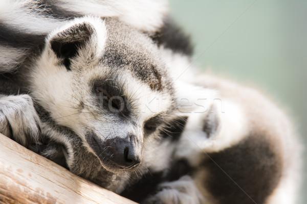 Dozing lemur cattas Stock photo © manfredxy