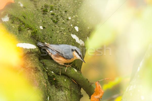 Eurasion nuthatch bird on tree Stock photo © manfredxy