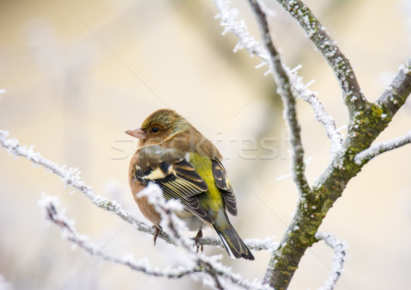 Common chaffinch bird sitting on a frosted tree Stock photo © manfredxy