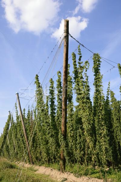 Hop giardino crescita campo verde impianto Foto d'archivio © manfredxy