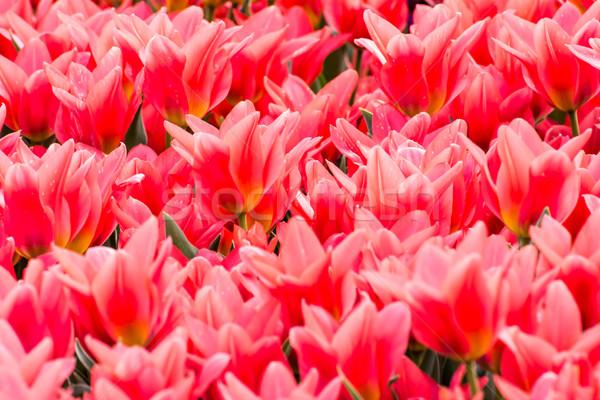 красный весны Tulip природы саду Сток-фото © manfredxy