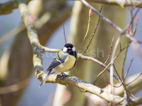 Тит птица сидят филиала дерево Сток-фото © manfredxy
