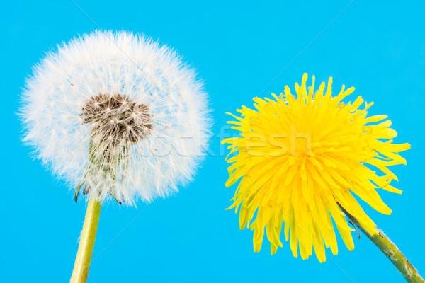 Amarelo dandelion sementes macro natureza semente Foto stock © manfredxy