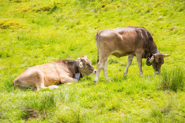 Organic farming wiht happy cows Stock photo © manfredxy