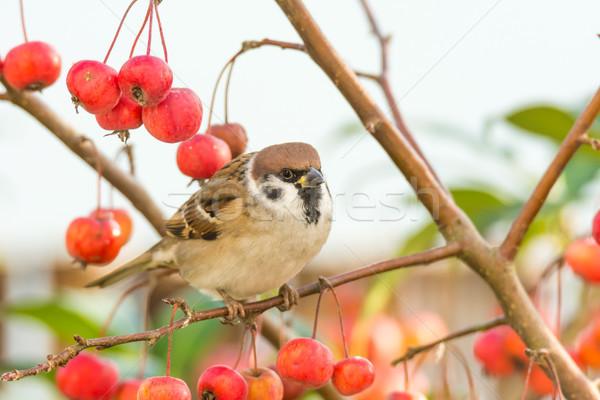 árvore pardal sessão apple tree maduro vermelho Foto stock © manfredxy