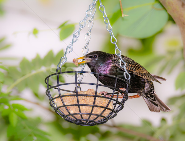 Starling at a bird feeder Stock photo © manfredxy
