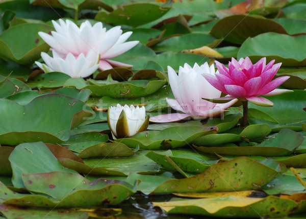Foto stock: água · lírios · lagoa · casal · flores · folha