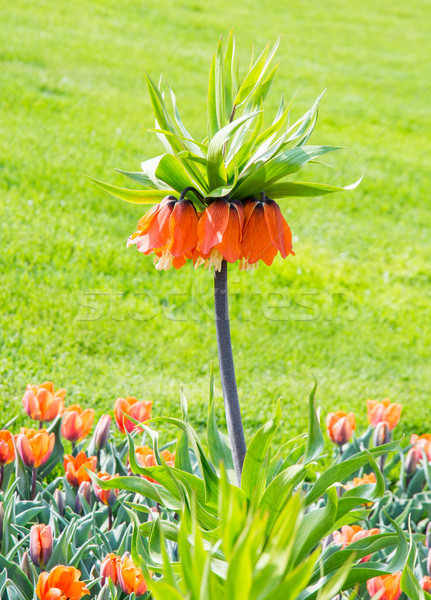 Fritillaria imperialis Stock photo © manfredxy