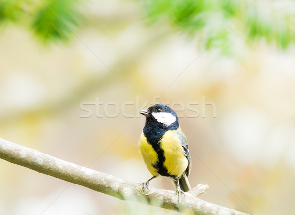 Great Tit bird sitting on a tree branch Stock photo © manfredxy
