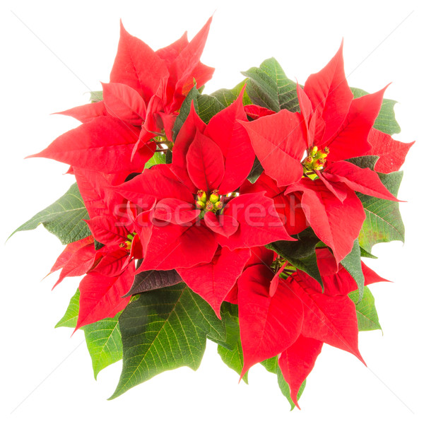 Isolated poinsettia flower Stock photo © manfredxy