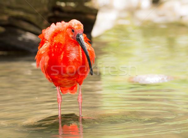 Scarlet Ibis wading through the water Stock photo © manfredxy