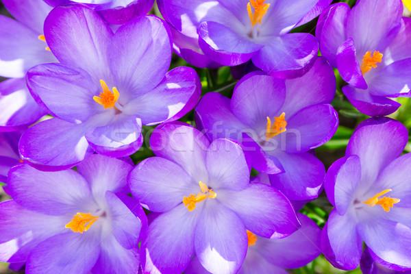 Purple crocus flower blossoms background Stock photo © manfredxy