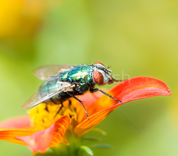 Macro of a fly on a red flower blossom Stock photo © manfredxy