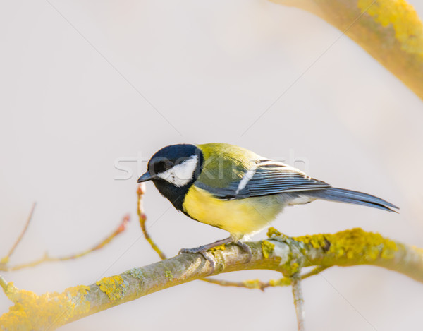 Great tit bird sitting on a branch Stock photo © manfredxy