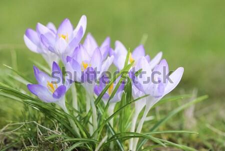 Crocus fiori primavera scenico Foto d'archivio © manfredxy