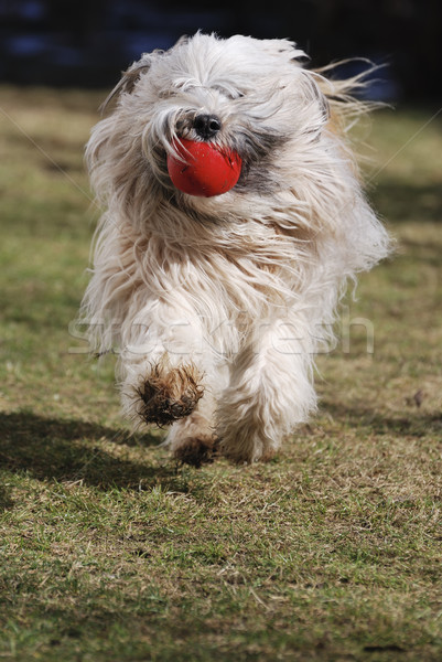 Running Tibetan terrier dog Stock photo © manfredxy