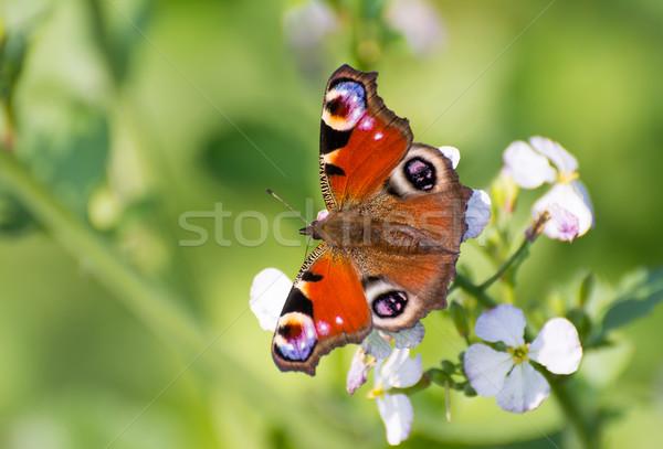 Européenne paon papillon séance fleur Photo stock © manfredxy